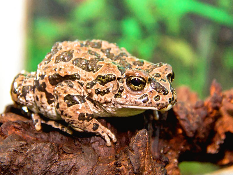 зеленая жаба фото и описание аренда вертолетной