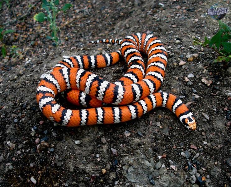 фото змеи королевская змея именно собеседники искромётным